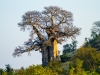 Another baobab on a hill near Moppani