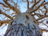 Looking up the baobab's dress