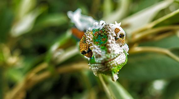 chameleons2012-01_sm