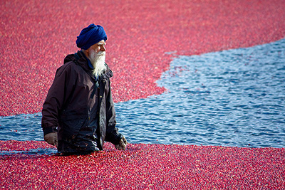 2008 Cranberry Harvest – Red Sea Revisited