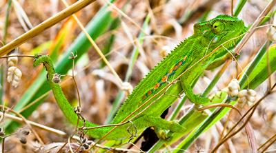 Even more chameleons…