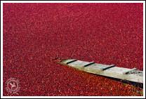 Reds! (2007 Cranberry Harvest)
