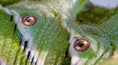 Tobacco Hornworms, Nature Does Halloween