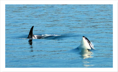 A Killer Time with Killer Whales