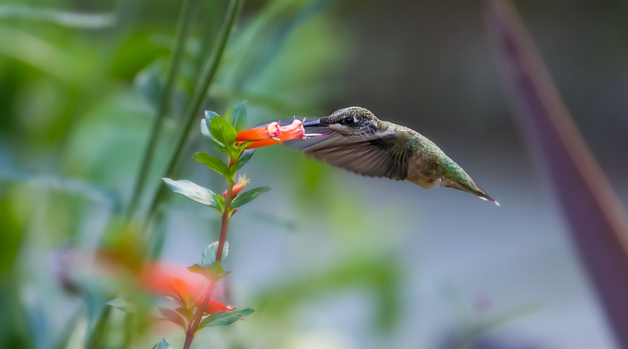 Hummingbird, the Sequel