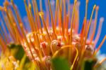 Kirstenbosch Flowers