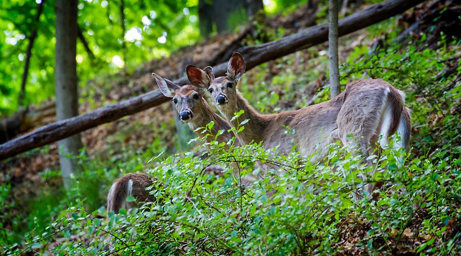 deer_sm1