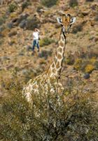 Karoo Parenthesis, Part 4 – A Giraffe in the Night