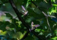 September Central Park Hummingbirds