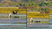 Two shots of a fish eagle's catch