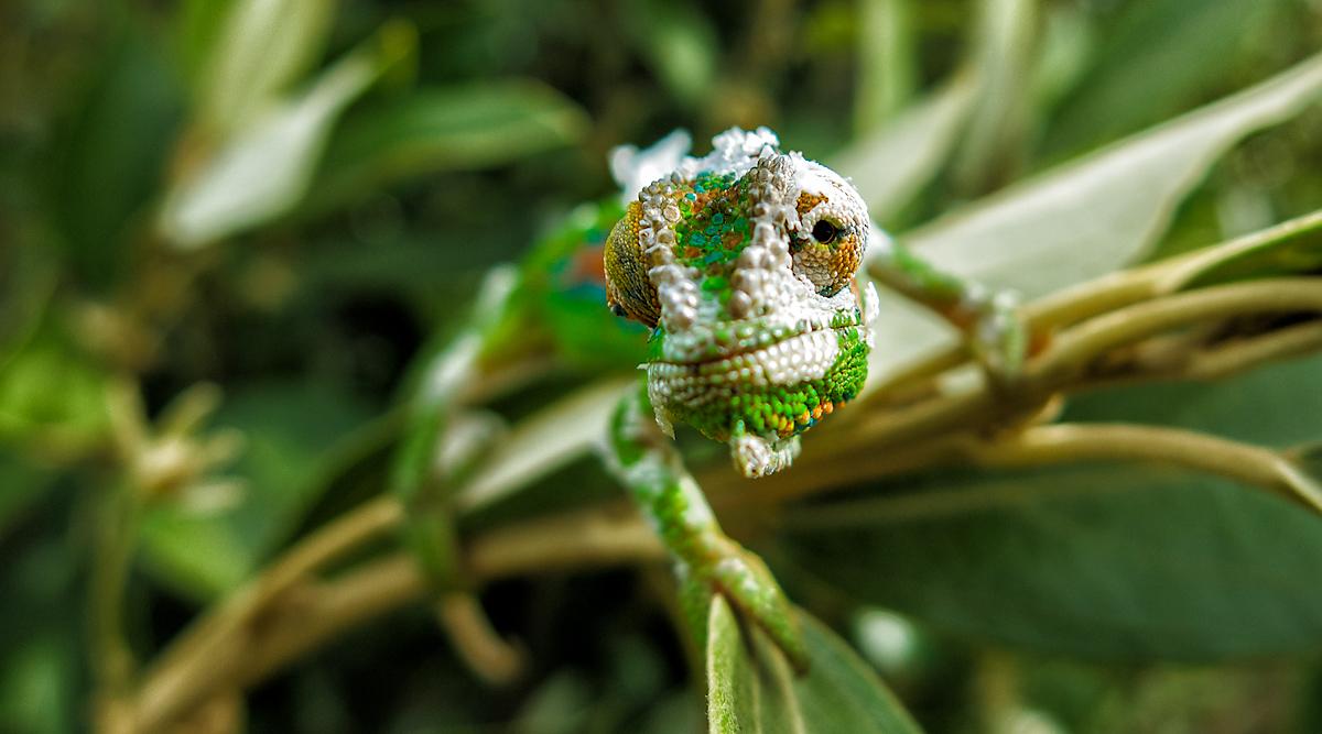 Constantia Chameleons 2012 Pilgrimage Coriolistic